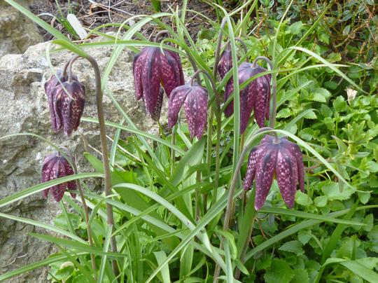 Fritillaria melagris (Fritillaria meleagris (Snake's head fritillary))