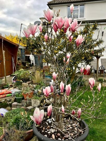 My Magnolia