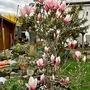 My_magnolia