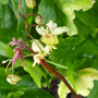 Epimedium sulphureum (Epimedium sulphureum)