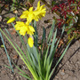 double narcissus (Narcissus)