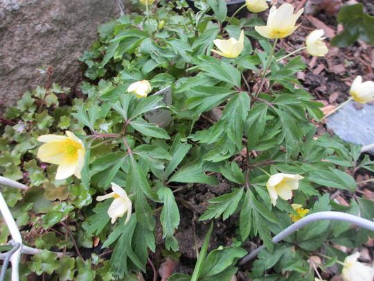 Anemone lipsiensis (Anemone lipsiensis)