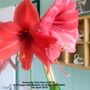 Amaryllis (2nd Red of 2019) 2nd scape with flowers on living room table 1st April 2019 (Amaryllis)