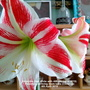 Amaryllis (2nd White with red veining of 2019) Flowering on living room table Close up 4th April 2019 001 (Amaryllis)