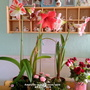 Amaryllis on living room table 4th April 2019 (Amaryllis Hippeastrum)