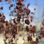 Katsura Tree (Cercidiphyllum japonicum (Katsura tree))