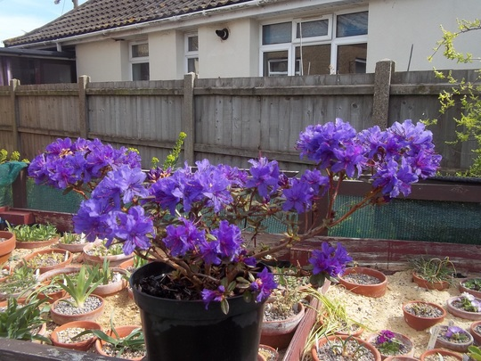 For Scotsgran (Rhododendron)