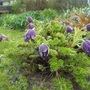 Pulsatilla albana violaceae (Pulsatilla albana)