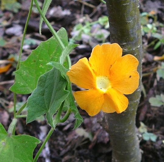 Thunbergia (Thunbergia alata (Black-eyed Susan))