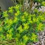 Euphorbia and grass....