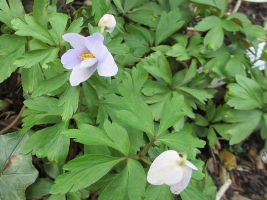 Anemone nemorosa 'Pale Blue' (update for my File) (Anemone nemorosa (Windflower))