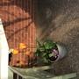 Front door pots with bright tulips
