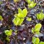 Tom Thumb... (Pittosporum tenuifolium (New Zealand Pittosporum))