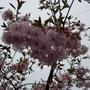 Prunus Accolade.... (Prunus Accolade.)