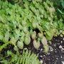 Epimedium (Epimedium x versicolor (Barrenwort) sulphureum)