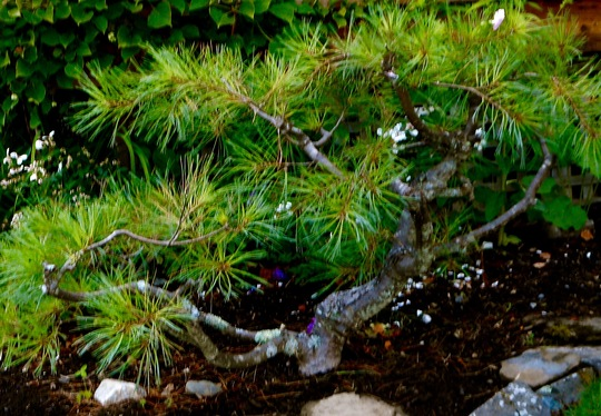White Pine Topiary