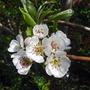 Pear blossom (Pyrus communis (Pear))