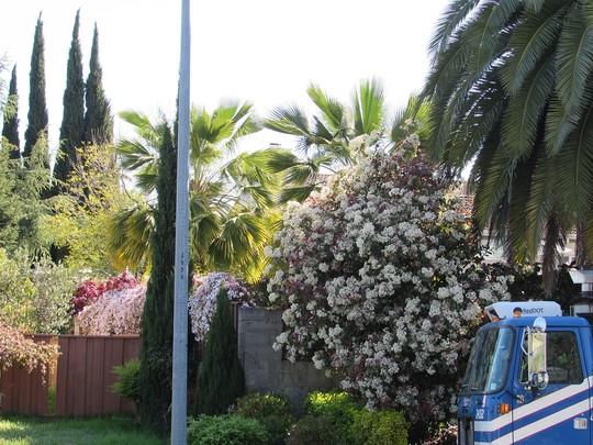 Photinia in bloom. (Photinia x fraseri (Christmas berry))