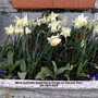 White_daffodils_flowering_in_trough_on_balcony_floor_5th_april_2019