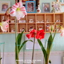 Amaryllis on living room table 11th April 2019 (Amaryllis)