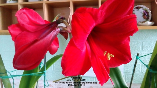 Amaryllis (4th Red of 2019) on living room table (Very close up) 11th April 2019 (Amaryllis Hippeastrum)