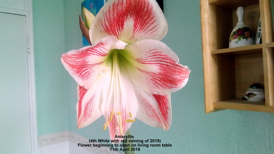 Amaryllis (4th White with red veining of 2019) Flower beginning to open on living room table 11th April 2019 (Amaryllis)