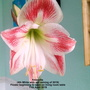 Amaryllis_4th_white_with_red_veining_of_2019_flower_beginning_to_open_on_living_room_table_11th_april_2019