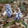 Muscari_pallens_early_form_2019