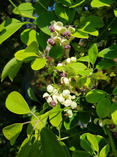 Akebia quinata flowers.... (Akebia Quinata (cream).)