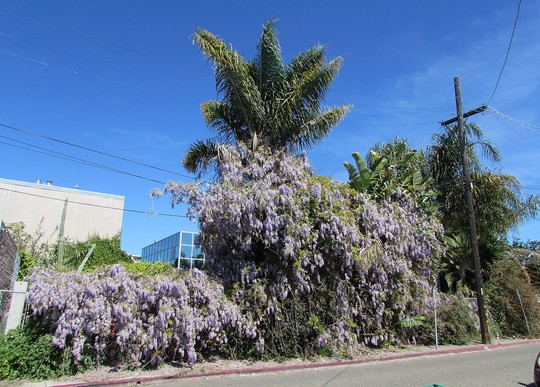 Wisteria and palms.