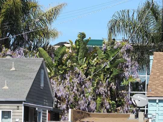 More Wisteria and palms.