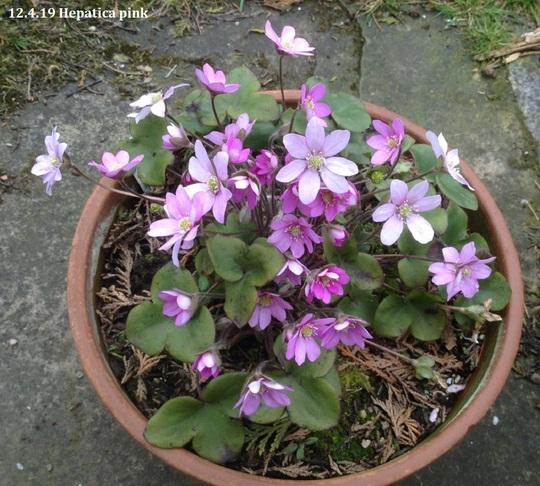 Pink Hepatica nobilis.