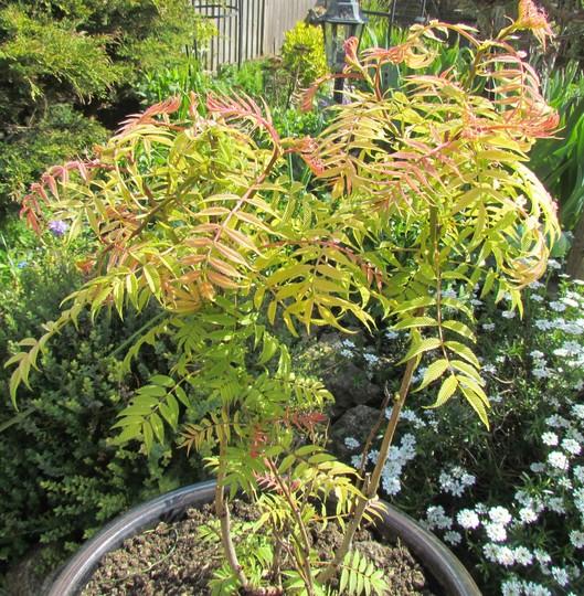 Sorbaria subfolia sem