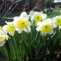 Daffodils Ice Follies
