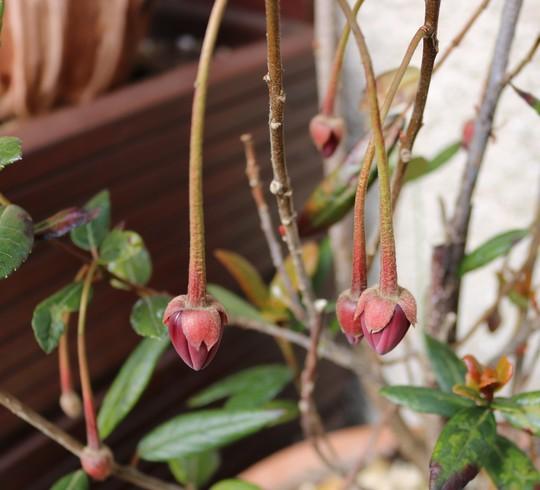 Crinodendron hookerianum flower buds