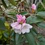 Rhododendron bureavii - 2019 (Rhododendron bureavii)