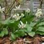 Erythronium californicum 'White Beauty' - 2019 (Erythronium californicum 'White Beauty')