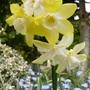 Pretty Daffodil