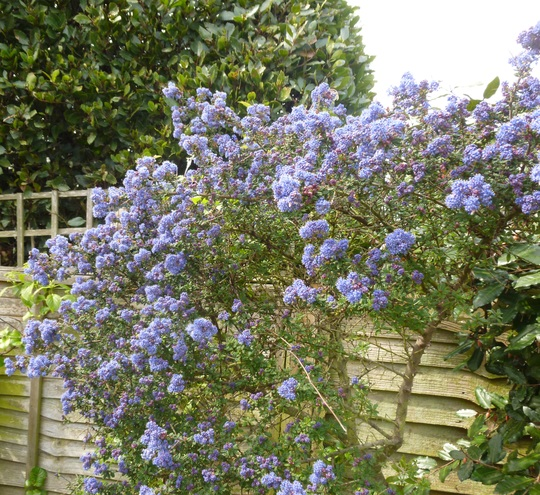 Ceanothus  'Paget Blue'