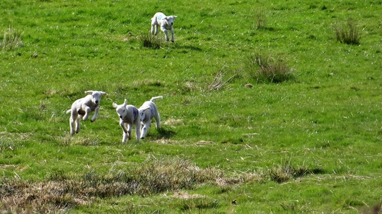 Some more spring lambs....