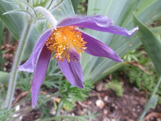 Pulsatilla vulgaris (Pulsatilla vulgaris (Pasque flower))