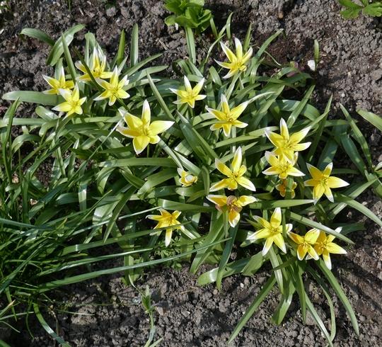 Tulipa tarda - 2019 (Tulipa tarda)