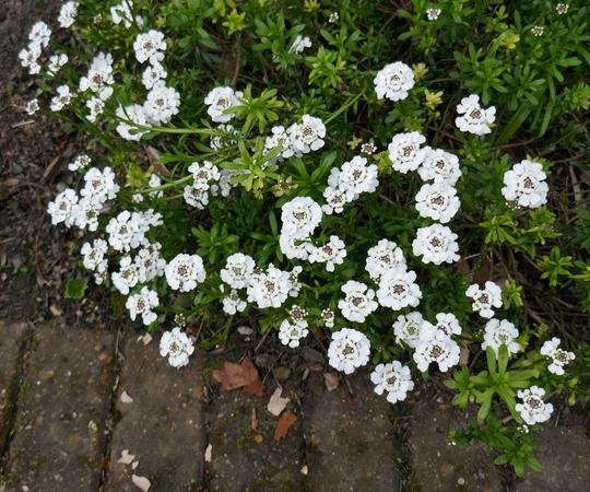Iberis sempervirens 'Snowflake' - 2019 (Iberis sempervirens 'Snowflake')
