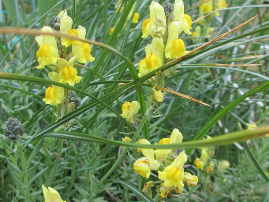 "Linaria ""Neon Lights"" (Linaria aeruginea ""Neon Lights"")"