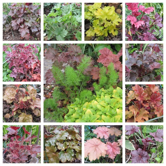 Heuchera Leaf colour (Heuchera)