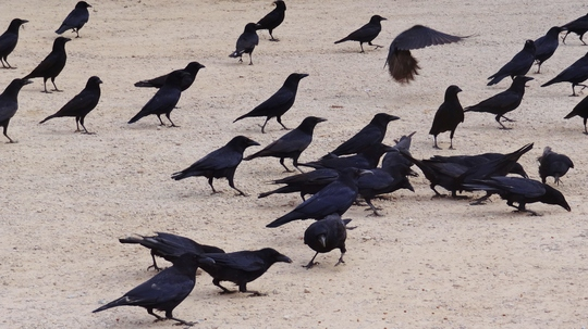 Crows in the car park.