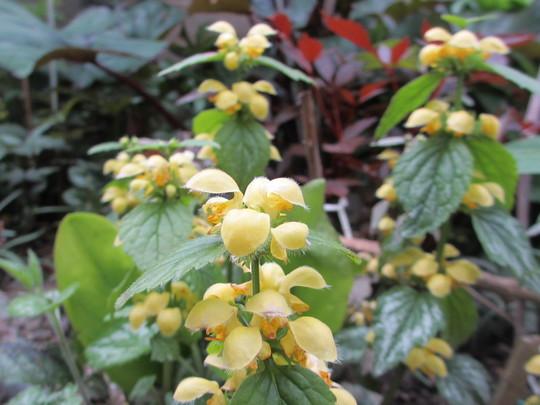Lamium galeobdolon variegatum (Lamium galeobdolon variegatum (Goldnessel))