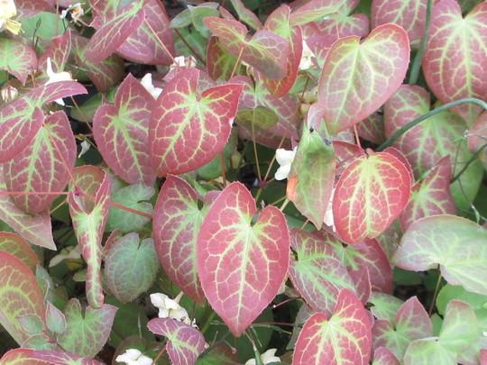 Foliage on Epimedium sulphureum versicolor (Epimedium sulphureum versicolor)
