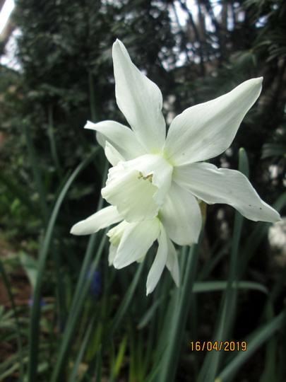 Thalia - daffodil