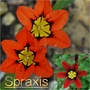 Spraxis... (Sparaxis tricolor (Harlequin Flower))